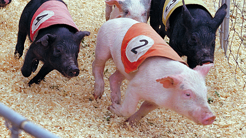 Empire State Fair Racing Pigs